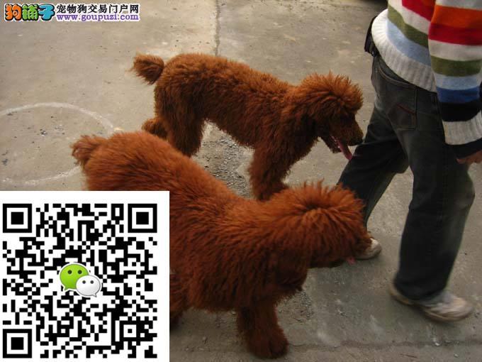 精品红色巨贵犬 巨贵幼犬出售 巨型贵