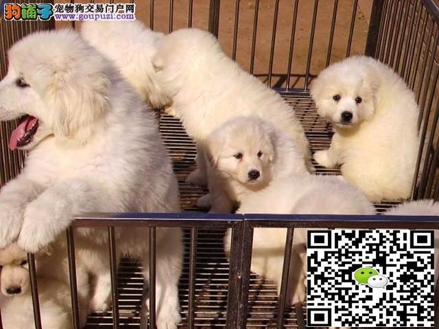大白熊 纯种健康专业狗场繁殖 签协议 可送货上门