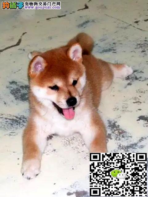 专业繁殖日本柴犬 可上门可视频欢迎挑选