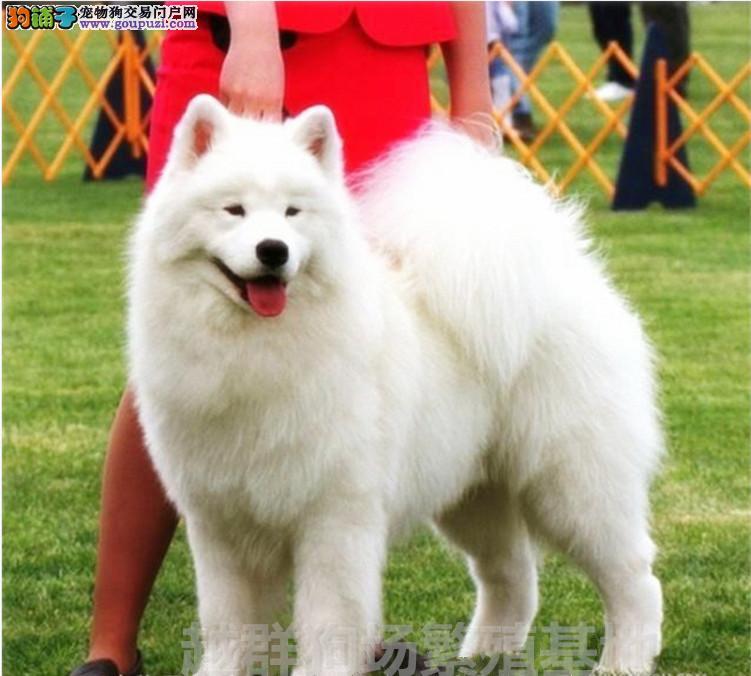 广东大型狗场出售 赛级澳版萨摩耶幼犬血统纯正