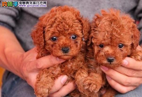 云南普洱有没有狗场有没有人卖纯种泰迪犬