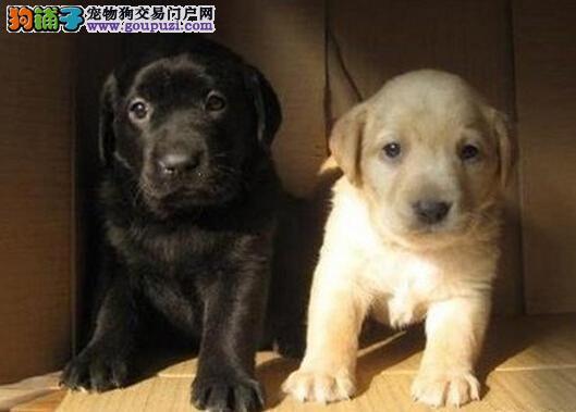 云南曲靖本地有没有狗场在卖拉布拉多纯种拉布拉多价格