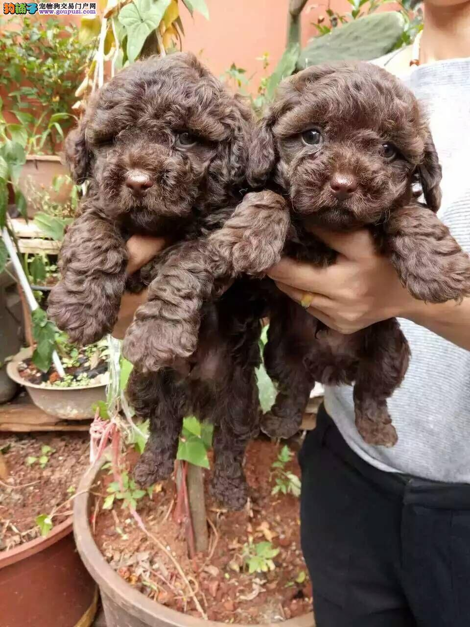 云南买卖纯种泰迪犬什么价格狗场直销