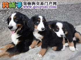 西双版纳哪里能买到纯种犬 西双版纳买卖狗