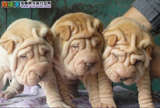 德宏哪些地方有狗市场 德宏哪里买卖宠物狗