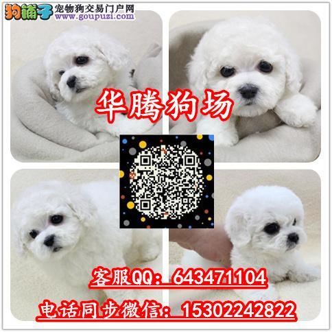 广州比熊幼犬价格多少纯种比熊犬价钱比熊小狗价格