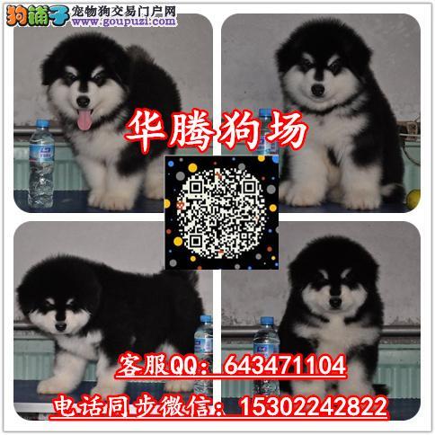广州纯种阿拉斯加雪橇犬价格阿拉斯加幼犬价钱阿拉斯加