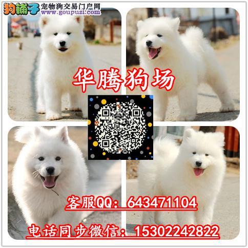 广州哪里有卖萨摩耶雪橇犬价格多少纯种萨摩耶价钱