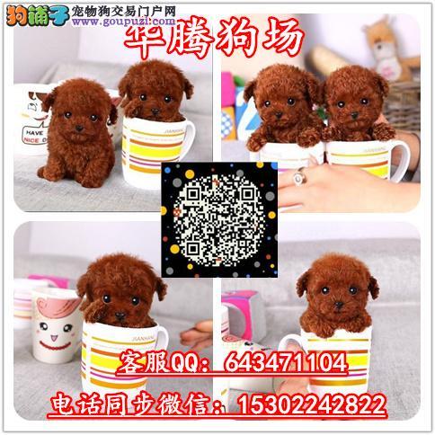 广州纯种小型犬茶杯犬价格多少茶杯泰迪熊价格