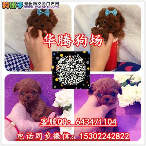 广州番禺泰迪熊幼犬价格多少广州纯种泰迪熊犬舍