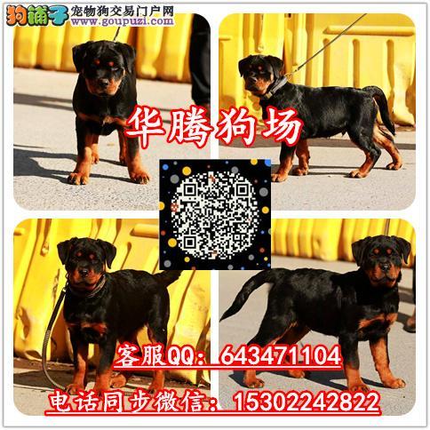 广州哪里有卖防暴犬罗威纳幼犬价格多少罗威纳价格