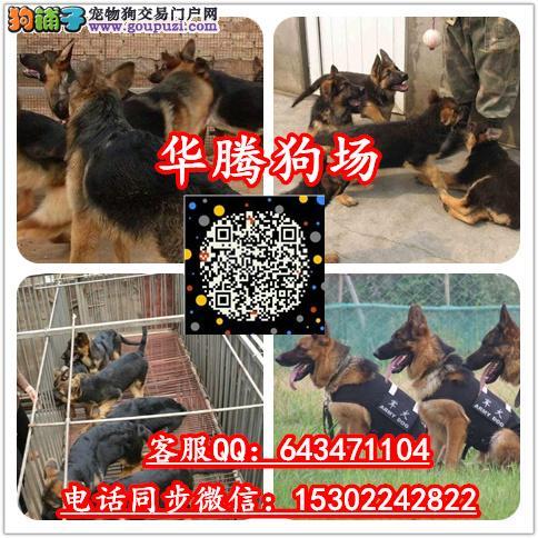 广州哪里有卖纯种德国牧羊犬价格多少德牧幼犬价钱