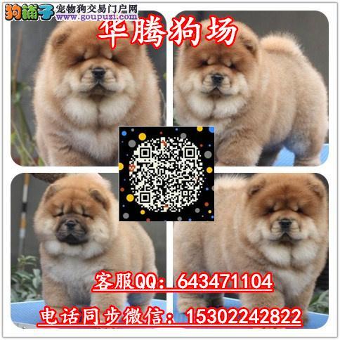 广州哪里有卖宠物狗广州松狮犬舍广州松狮小狗价格
