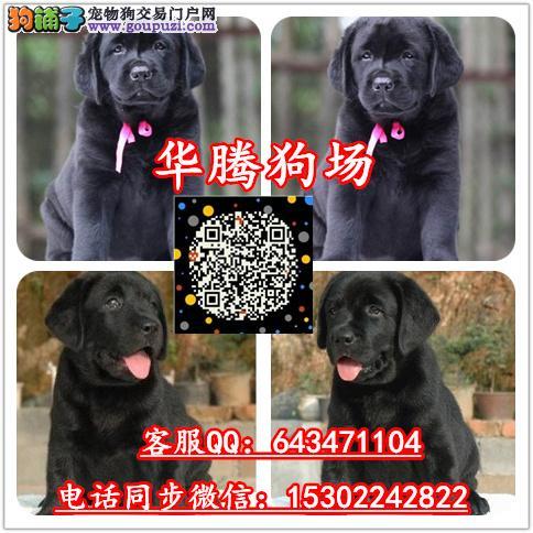 广州纯种拉布拉多幼犬价格拉布拉多价格拉布拉多犬舍