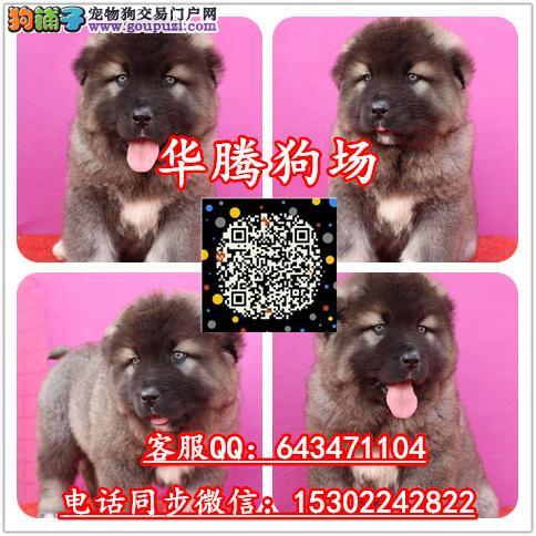广州哪里有卖高加索犬价格多少纯种高加索幼犬价钱多少