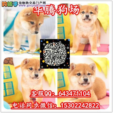广州哪里有卖柴犬价格多少纯种柴犬价钱多少柴犬价钱
