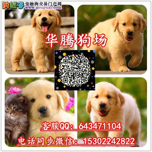 广州纯种金毛犬价格多少金毛幼犬价钱金毛多少钱