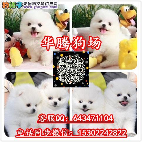 广州纯种博美幼犬价钱多少博美价格多少博美犬舍