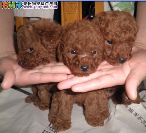 迪庆卖泰迪、迪庆买泰迪、迪庆狗场常年出售纯种泰迪