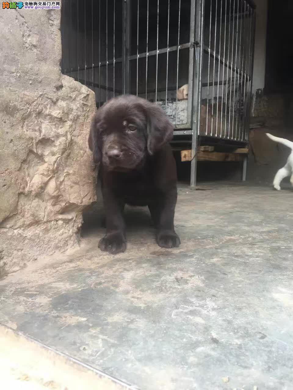 玉溪市卖纯种拉布拉多犬 拉布拉多幼犬
