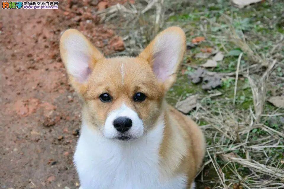 双血统高品质柯基幼犬出售