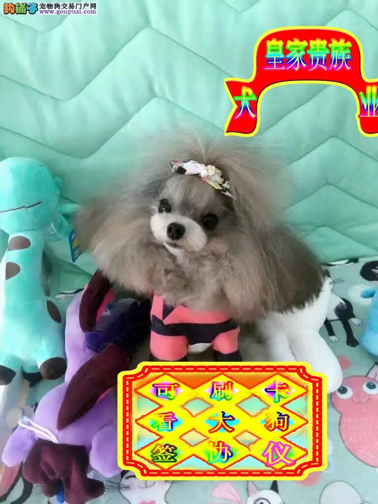 火爆热销中,专业犬舍出售纯种泰迪宝宝,终身质保纯种