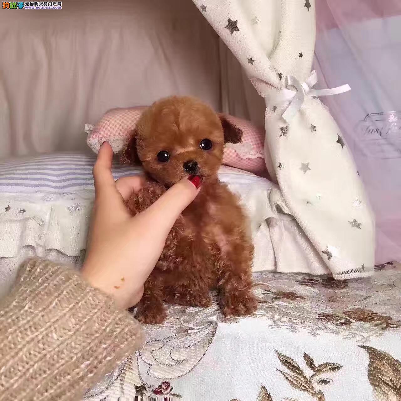 泰迪宝宝年底犬舍八折优惠出售,多只泰迪犬