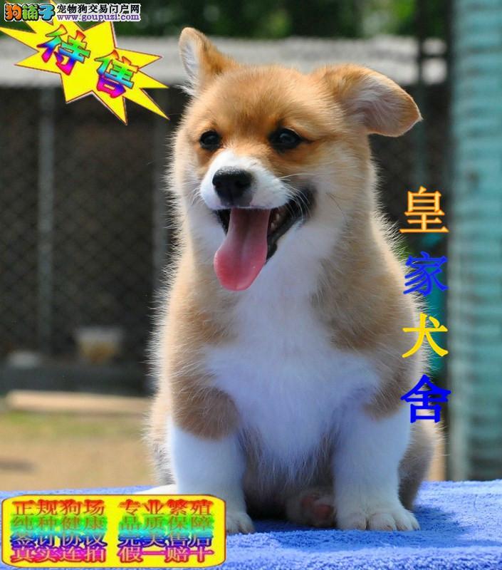 威尔士小短腿柯基犬,专业繁殖犬舍,出售幼犬