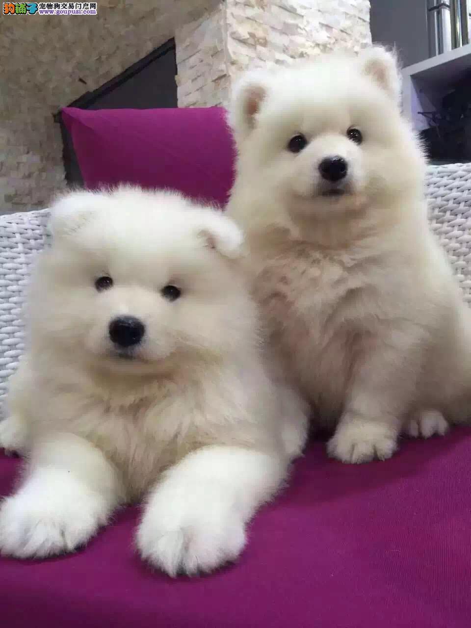 顶级白魔法血系,超高品质萨摩耶犬