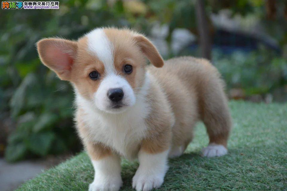 聪明个性的短腿绅士柯基犬,血统健康有保障,拉风出售