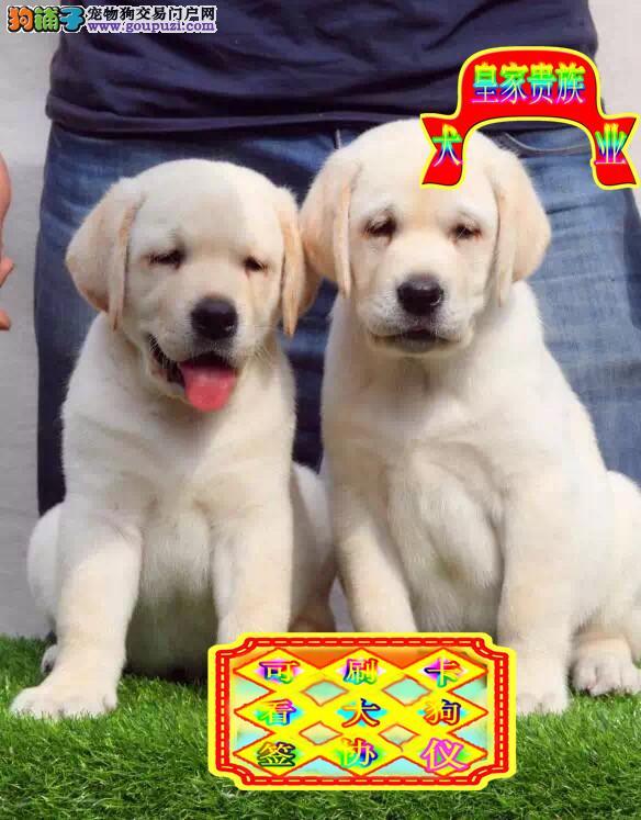 赛级拉布拉多犬,双血统拉布拉多犬正规繁殖犬舍