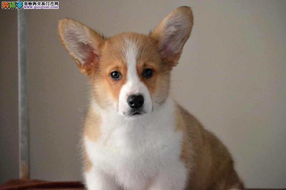 皇家血统纯种威尔士柯基犬,签协议双保