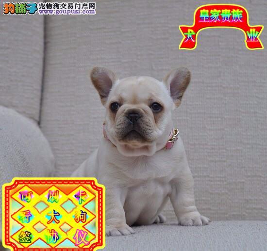 网红纯种双血统法斗,多只幼犬出售