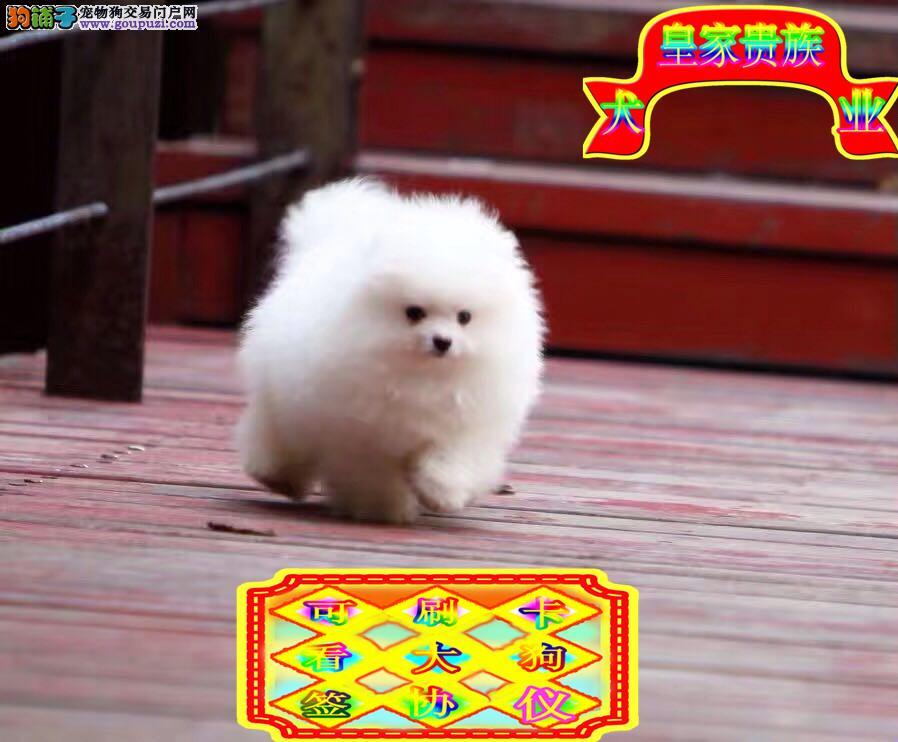 博美犬,毛量足,品相佳。纯种球体长不大体