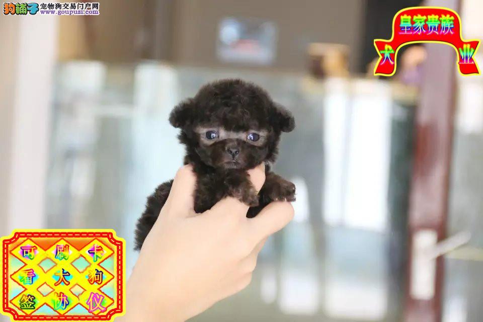 泰迪犬,玩具泰迪,茶杯泰迪,颜色全看视频选