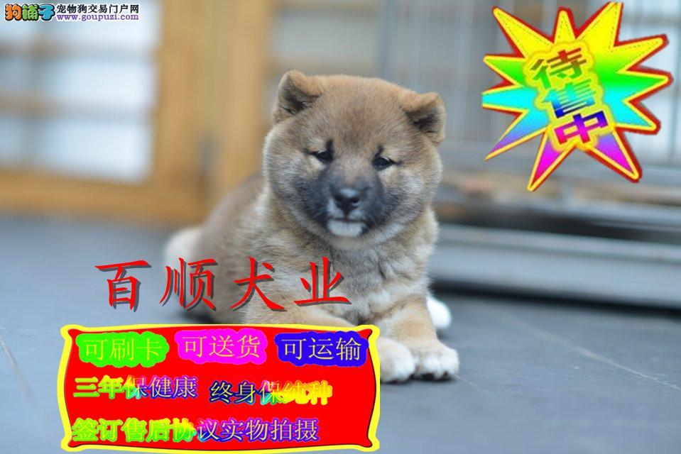 柴犬,日系,正规繁殖,精品小宝贝出售纯种