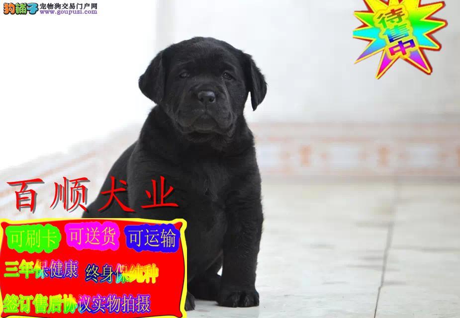 拉布拉多犬  正规犬舍繁殖  赛级宠物级拉拉签质保