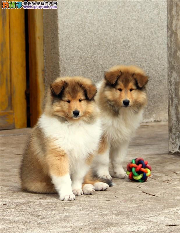 苏格兰牧羊犬纯种,幼犬赛级血统,带证书签协议