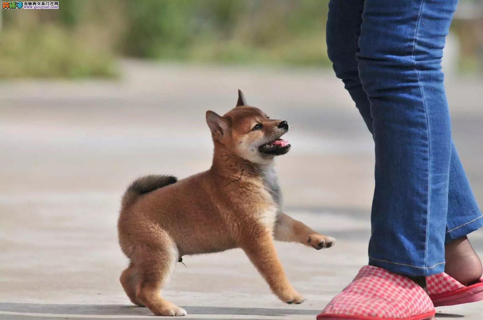 体型最小且最古老的犬 精品柴犬出售 签订协议品相好