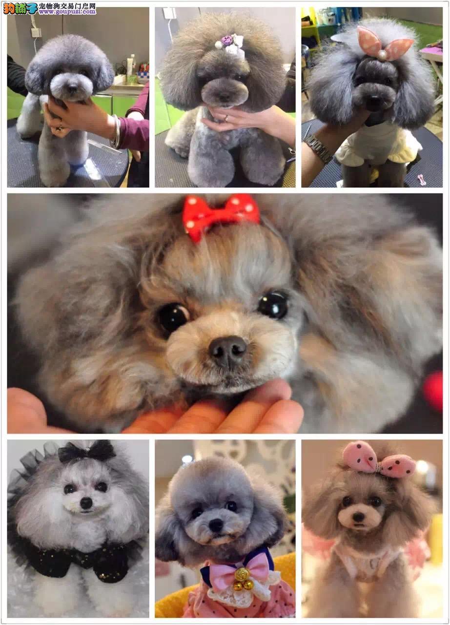韩国引进,茶杯泰迪熊犬,玩具泰迪熊犬,质保三年