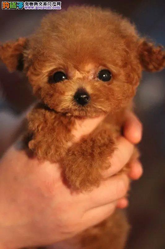 精品泰迪幼犬多窝出售 包健康纯种