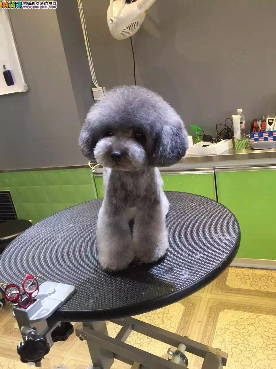 正规犬舍繁殖 赛级品质 泰迪熊幼犬