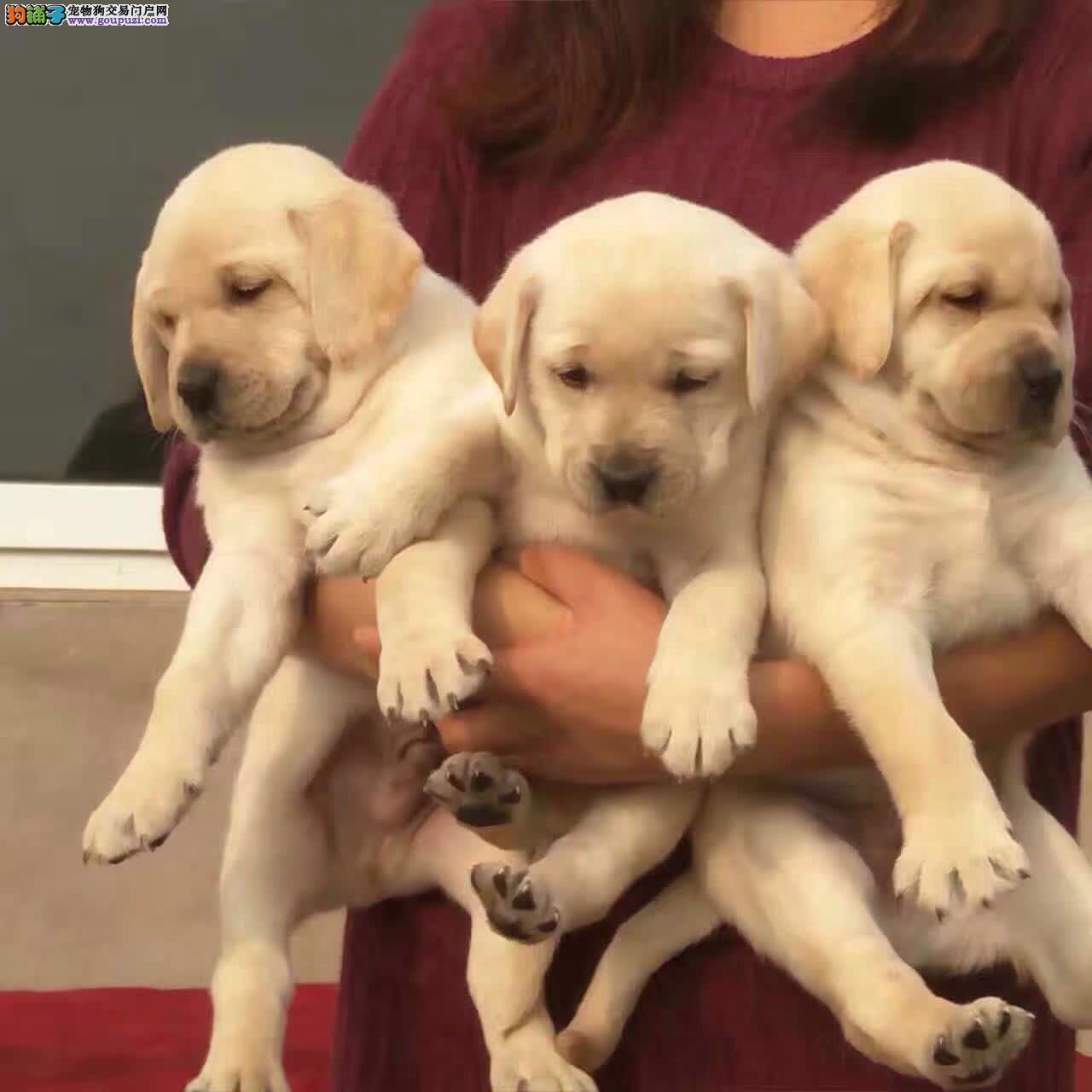 犬舍常年出售纯种健康的拉拉 颜色全 可视频选