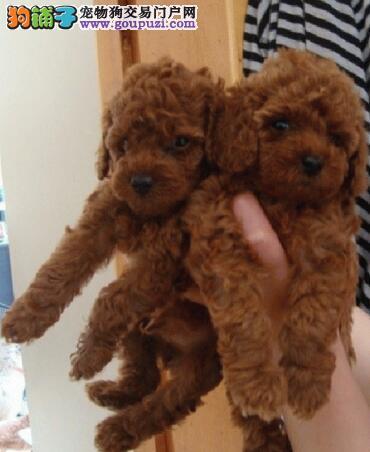 文山买泰迪要在哪里买 文山哪里有卖泰迪幼犬
