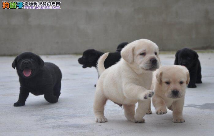 一般纯种的拉布拉多幼犬价格在多少