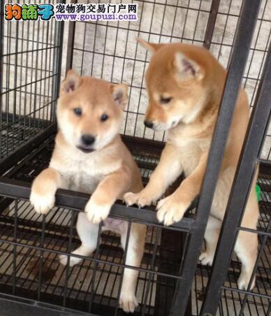纯种的柴犬哪里可以买到 纯种柴犬价格