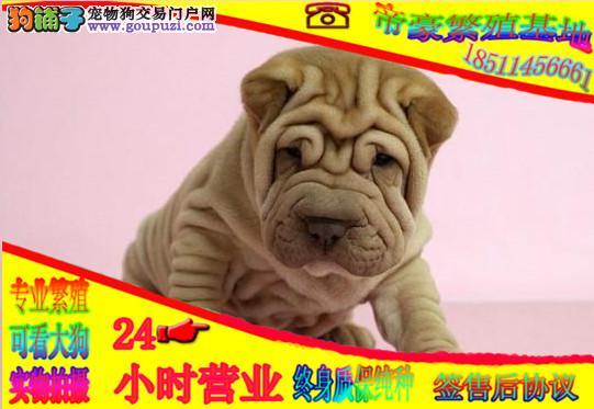 精品沙皮犬,纯种幼犬专业繁殖基地,可上门看大狗
