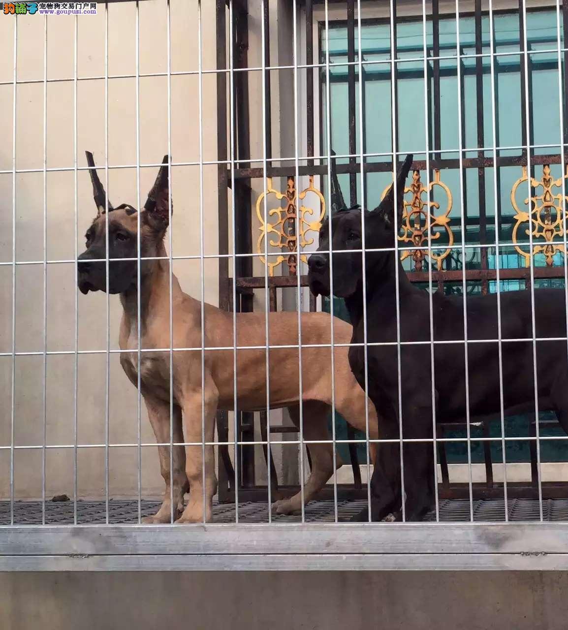 精品纯种大丹犬出售质量三包签订协议包细小犬瘟热