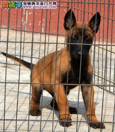 马犬幼犬、超兴奋、超凶猛保健康终身售后