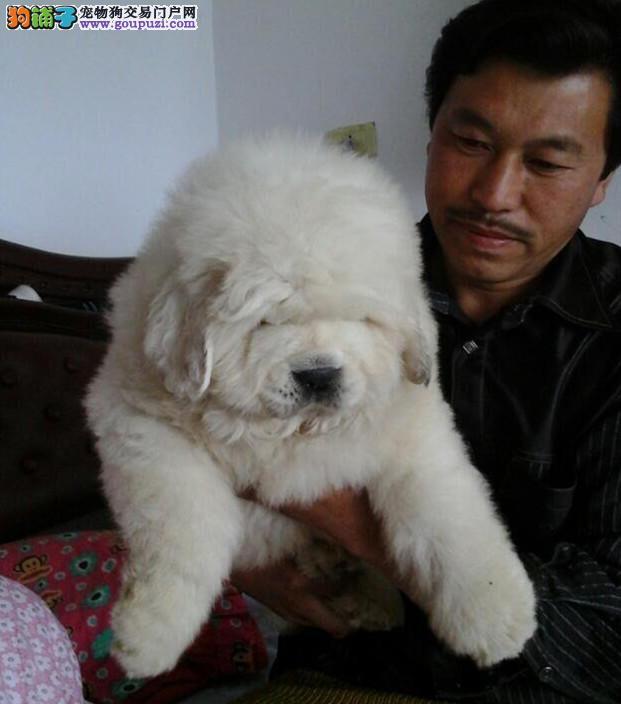 大白熊犬,犬舍直销,随时可上门看狗